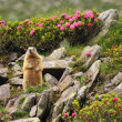 Marmot among rhododendron flowers - Stock Photo