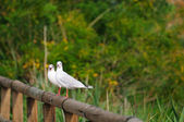 Pair of black-headed gulls — Stock Photo