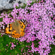 Painted Lady on moss campion - Stock Photo