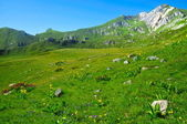 Mountain meadow with many flowers — Stock Photo