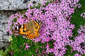 Painted Lady on moss campion — Stock Photo