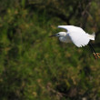 Little egret in flight — Stock Photo