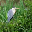 Grey heron (Ardea cinerea) — Stock Photo #2316430