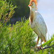 Cattle egret in breeding plumage — Foto Stock