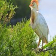 Cattle egret in breeding plumage - Stock Photo