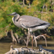 Young Gray Heron fishing — Stock Photo #2316561
