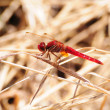 Stock Photo: Scarlet Dragonfly