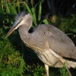 Stock Photo: Young gray heron in night