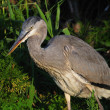 Young gray heron in the night - Stock Photo