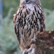 Adult eagle owl — Stock Photo #2317069