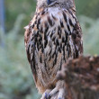 Adult eagle owl — Stock Photo