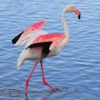 Greater flamingo flapping its wings - Stock Photo