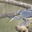 Stock Photo: Gray Heron fishing from branch