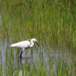 Little egret — Stock Photo #2317439