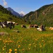 Royalty-Free Stock Photo: Cows grazing in a sunny alpine meadow