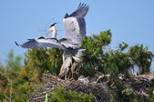 Couple of Gray Herons — Stock Photo