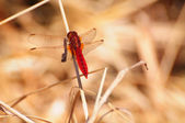Scarlet Dragonfly Crocothemis erythraea — Stock Photo