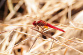 Scarlet Dragonfly — Stock Photo