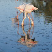 Greater flamingoes crossing leg and neck — Stock Photo
