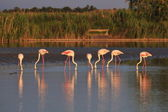 Small flock of greater flamingoes sunset — Stock Photo