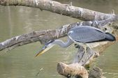 Gray Heron fishing from a branch — Stock Photo