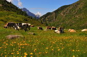 Cows grazing in a sunny alpine meadow — Stock Photo