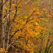 Autumn colors in deciduous forest — Stockfoto #2393291