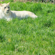 Stock Photo: White lioness (Pantherleo)