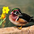 Wood duck (Aix sponsa) - Stock Photo