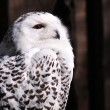Snowy Owl (Bubo scandiacus) — Stock Photo