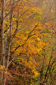 Autumn colors in deciduous forest — Stock Photo