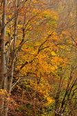 Herfst kleuren in bladverliezende wouden — Stockfoto