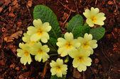 Primrose (Primula vulgaris) — Stock Photo