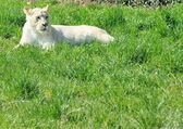 White lioness (Panthera leo) — Stock Photo