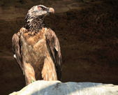 Lammergeier or Bearded Vulture — Stock Photo