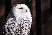 Snowy Owl (Bubo scandiacus) — Stockfoto