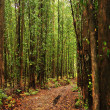 Stock Photo: Eucalyptus trees forest
