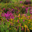 Stock Photo: Broom and heather shrubs