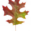 Leaf of scarlet oak - Stock Photo