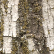 Bark #2 — Stock Photo #2444017