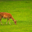 Pregnant female fallow deer - Stock Photo