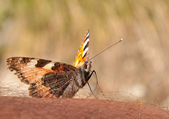 Small tortoiseshell — Stock Photo