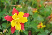 Crimson Columbine — Stock Photo