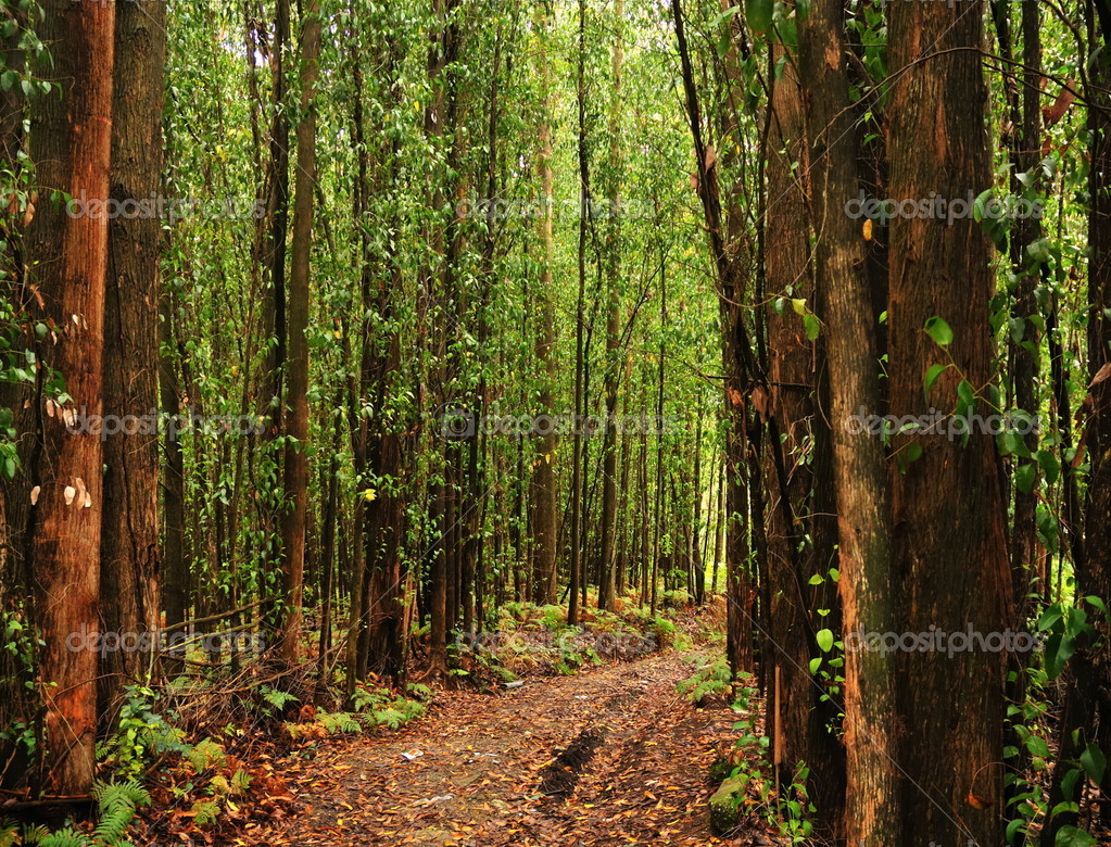Eucalyptus trees forest — Stock Photo © RCerruti #2442111