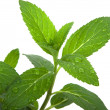 Mint Herb - Stock Photo