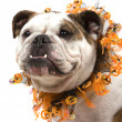Bulldog — Stock Photo #2223805