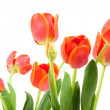 Tulips — Stock Photo #2224636