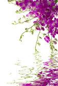 Orchidées — Photo