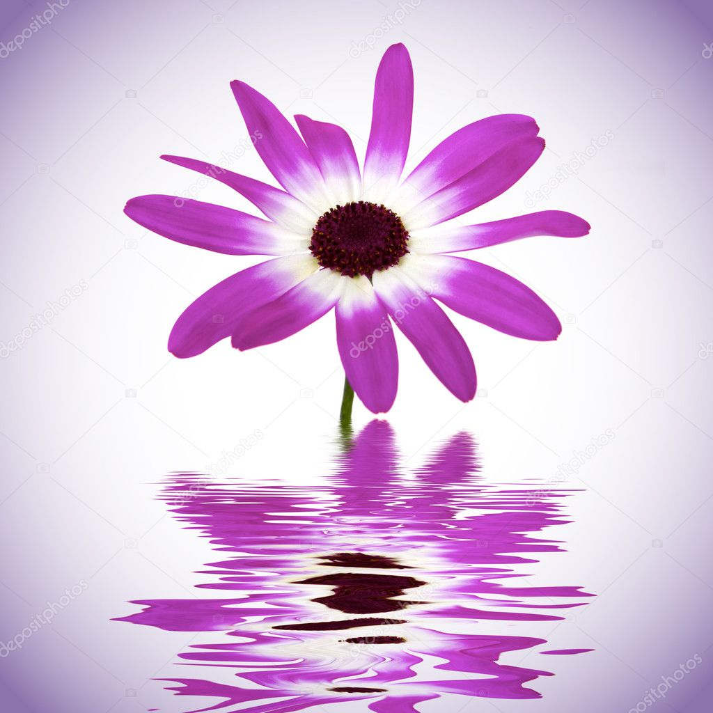 Beautiful daisy with water reflection — Stock Photo #2220170