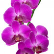 Orchid Branch - Stock Photo